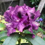 Rhododendron_purple_splendour_2009
