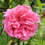 Climbing_rose_no_name