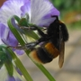 Bee_on_viola_170509_4close_up