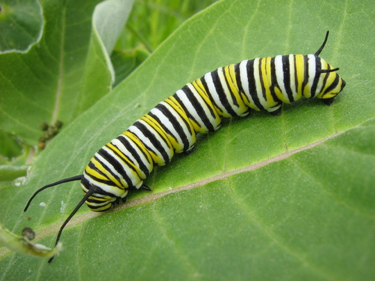 Monarch larva on milkweed- This is not a pest!