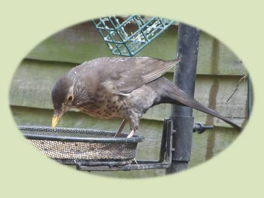 ?Baby blackbird