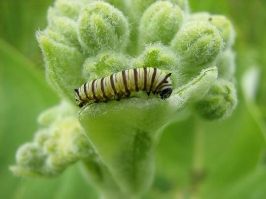 newly hatched larva..