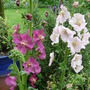 Pink and Purple (Verbascum)