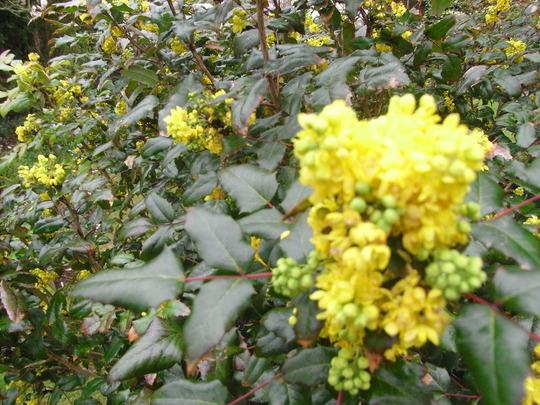 Mahonia Aquifolium. (Mahonia aquifolium (Oregon grape))
