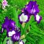Iris_steppin_out