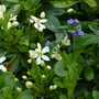 Alkanet_and_mexican_orange_blossom16_05_09