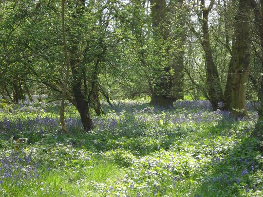 Blue bell Oak wood near my home