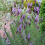 Lavender Papillon