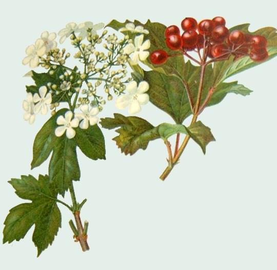 Viburnum opulus (Guelder Rose) (Viburnum opulus)