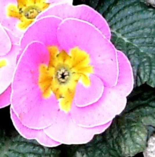 Primula close up (Primula variabilis)