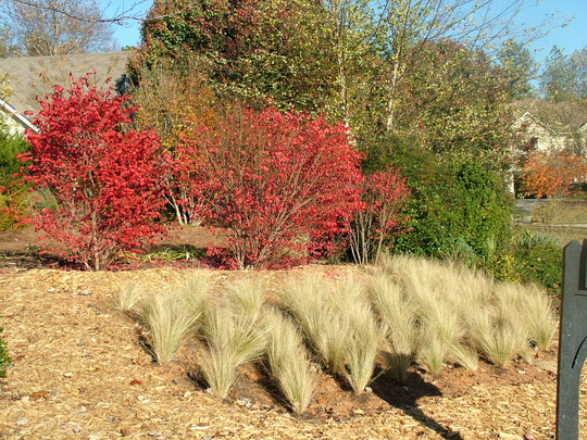 Mexican Feather Grass with Fire Bush behind in Autumn (Stipa tenuissima (Feather grass))