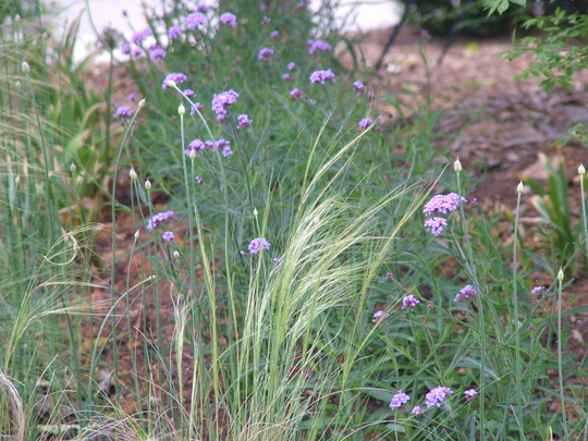 Mexican feather grass with verbena Bonariensis and alliums (Verbena bonariensis (Verbena))