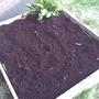 Veg bed (Beet spinach)