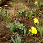 Narscissi in front garden March 14 2008 (Narcissus)