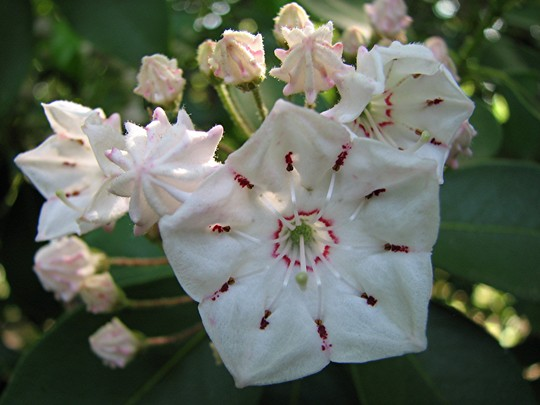 Our native mountain laurel