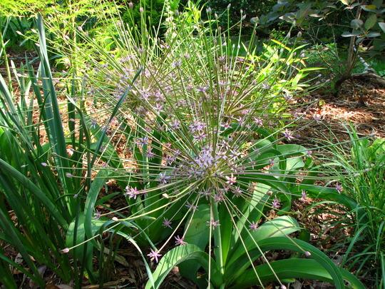 Blooming onion (Allium Schubertii)