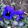 Pansy. 14 March 2008 (Viola)