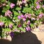 Polygala myrtifolia / Sweet Pea Shrub (Polygala myrtifolia / Sweet Pea Shrub)