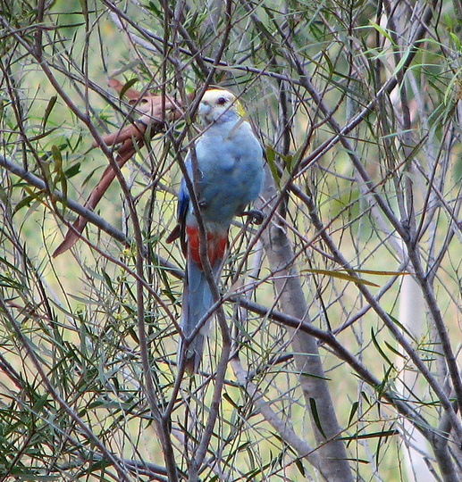 Another of the Pale-Headed Rosellas.