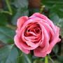 Rose may 09  Coral Dawn 