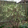 Ribes sanguineum 'White Icicle' 2 (Ribes sanguineum 'White Icicle')