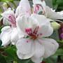Pelargonium peltatum (Pelargonium peltatum (Hanging Geranium))