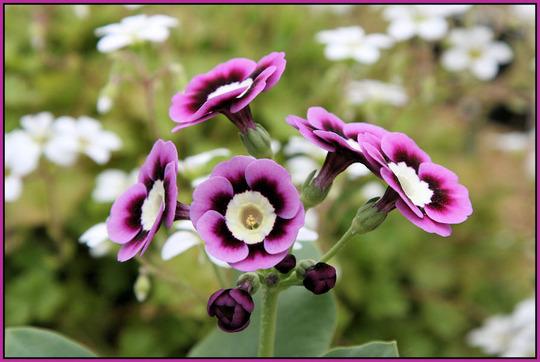 Purple Auricula