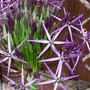 Close up on Cristophii.... (Allium cristophii (Ornamental onion))