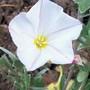 Convolvulus (Convolvulus cneorum (Silverbush))