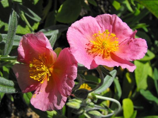 Rock Rose Flowers
