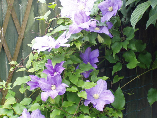 """Clematis """"The President"""" ( I think)"""