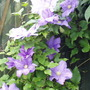 "Clematis ""The President"" ( I think)"