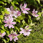 "Clematis ""Nelly Moser"""