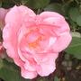 Rose, soirée de bonheur