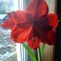 Hippeastrum or is it amaryllis?