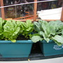 my lettuce and cabbage in my reycling boxes  What do you think (lettuceio and cabbageo)