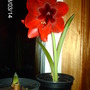 Hippeastrum at night