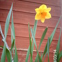 Narcissus Fortune (Narcissus cyclamineus (Daffodil))