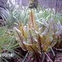 Rumex sanguineus (Rumex sanguineus)