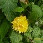 10th_may_kerria_japonica_pleniflora