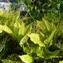 Aucuba_variegata_japonica_crotonifolia_male_001