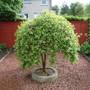 Kilmarnock Willow