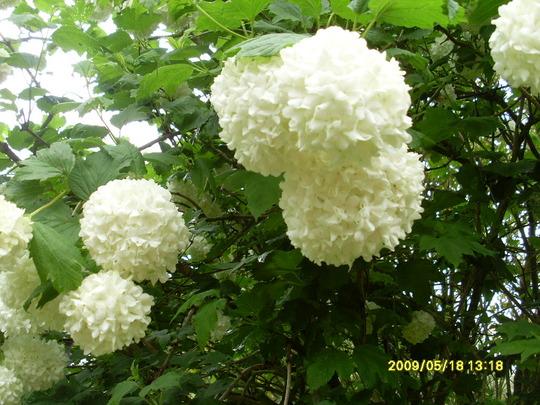 Shrub Snowball tree (Viburnum Opulus Sterile)