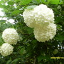 Viburnam_snowball_tree