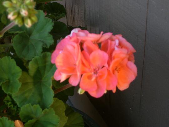 Salmon pink geranium.