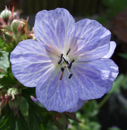Geranium pratense 'Mrs Kendall Clark' (Geranium pratense (Meadow cranesbill))