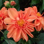 Bedding_dahlias_rachel_