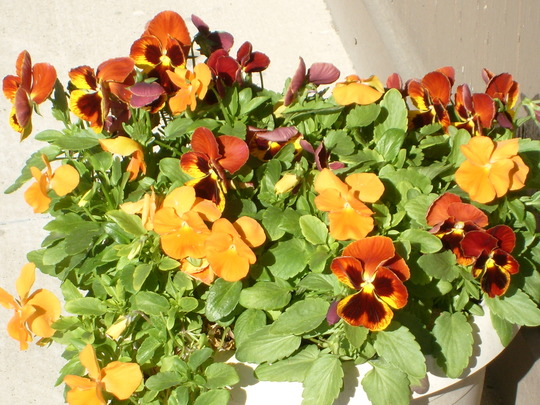 Close up of the pansies