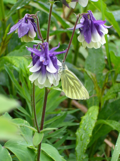 Green Veined White on Aquilegea (Aquilegia sp)