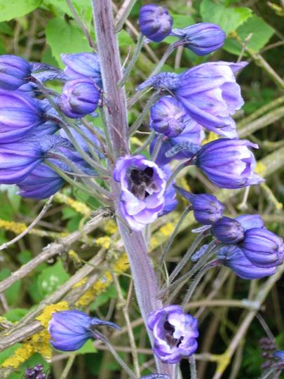 just opening (Delphinium elatum (Delphinium))